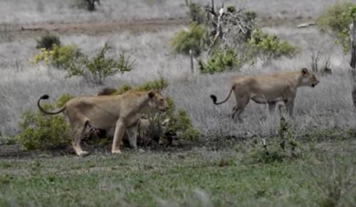 львица против царя зверей