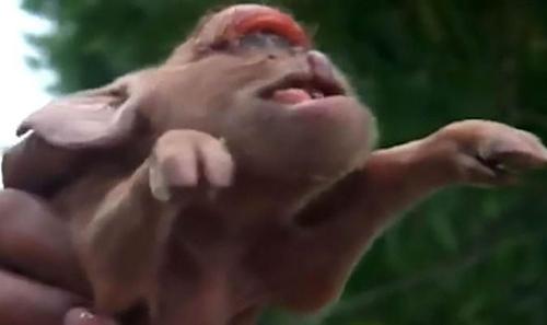 поросёнок похож на обезьяну
