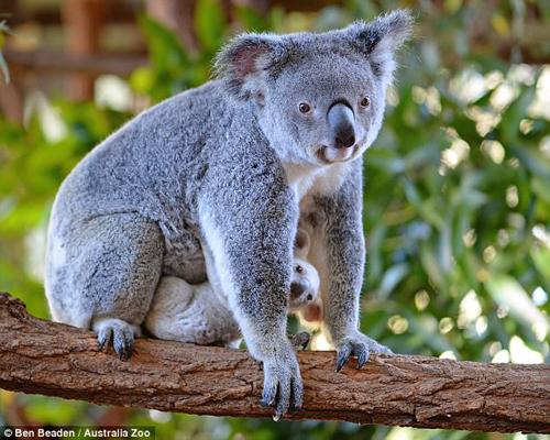 редкая белая коала