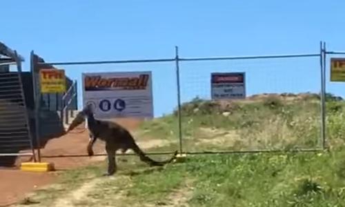 кенгуру не обрадовался забору