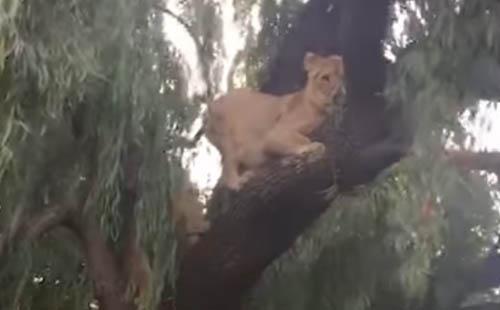 львята учатся лазать по деревьям