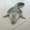 аллигаторы могут разбежаться