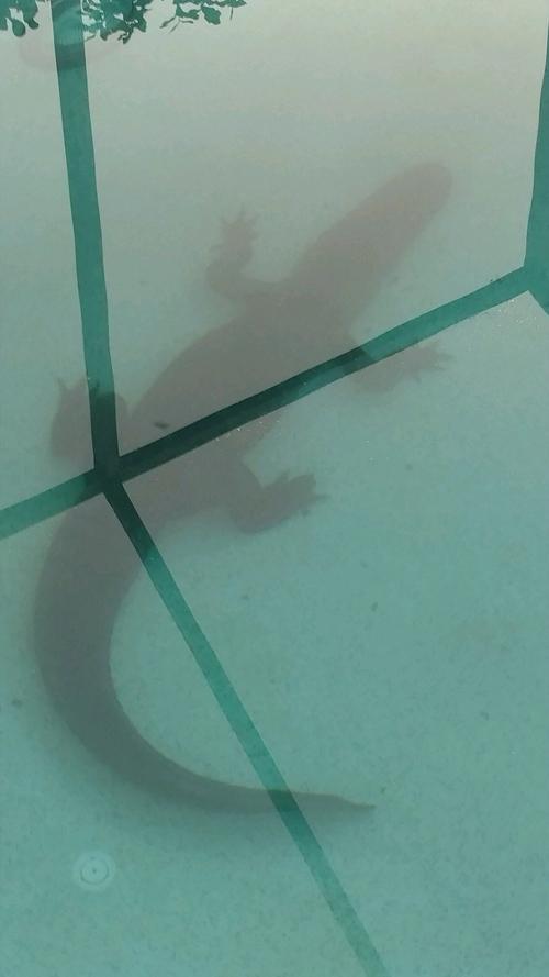 аллигатор залез в бассейн