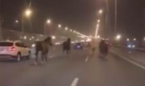 лошади ночью на автотрассе