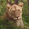 львица воссоединилась с прайдом