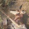 антилопа попала в ловушку