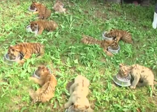 тигрята с кожной болезнью