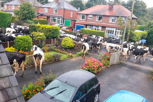 коровы посетили небольшой городок