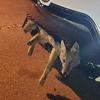 койот застрял в решётке машины