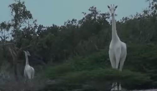 белая самка жирафа и её детёныш