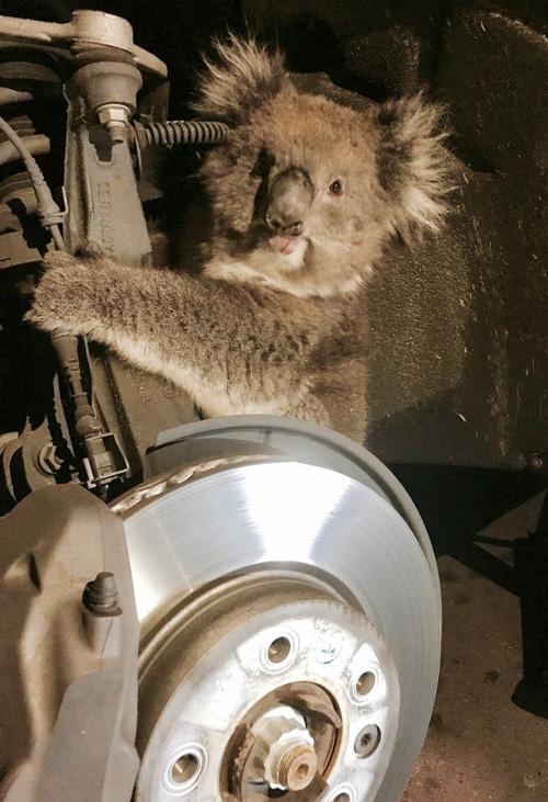 коала за колесом машины