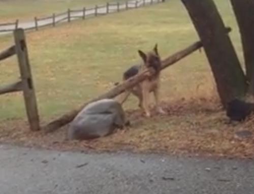 овчарка нашла большую палку