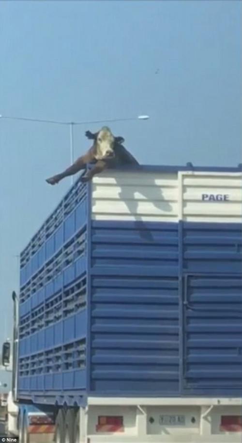 любопытная корова в грузовике