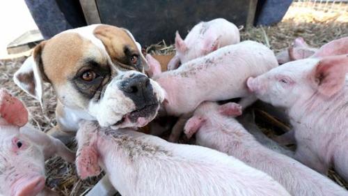 собака кормит молоком поросят