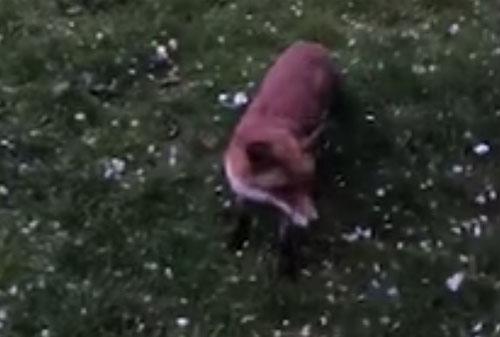 пёс познакомился с лисой