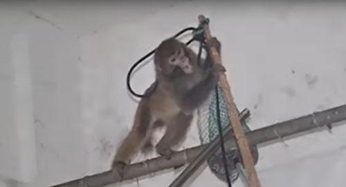 пожарные полчаса ловили обезьяну