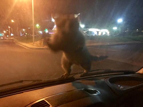 енот прыгнул на капот машины