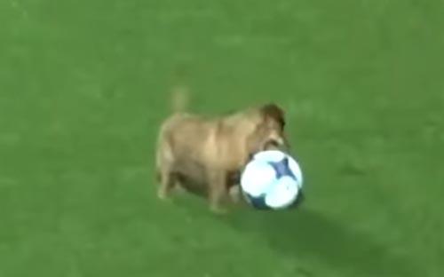 бездомный пёс сыграл в футбол