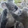 коала помогла своему детёнышу