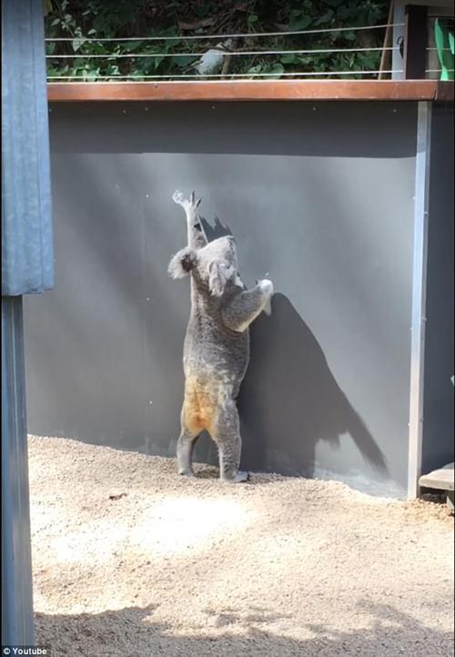коала и высокий забор