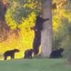 медведица с большим выводком