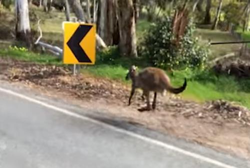 кенгуру бежал с велосипедистами