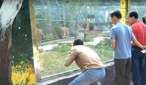 умные тигры игнорировали мужчину