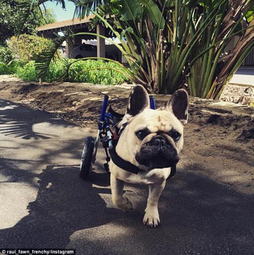 инвалидная коляска для бульдога