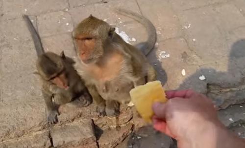 обезьяна украла воду у туриста