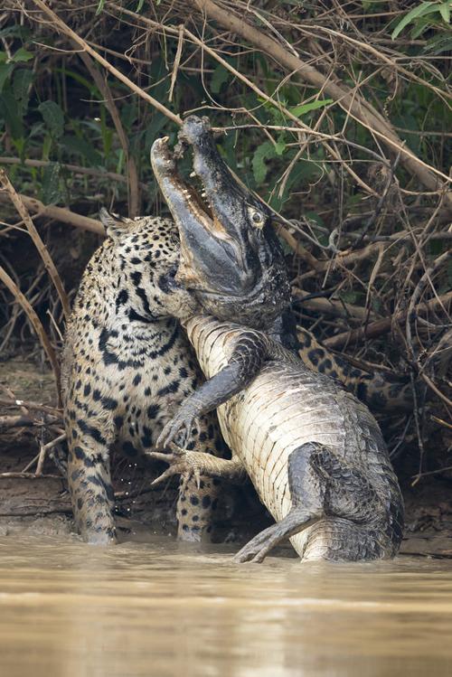 ягуар расправился с кайманом