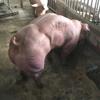 чересчур мускулистые свиньи