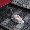 лебедь упал на рельсы