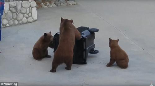 медведи не справились с баком