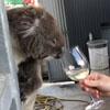коала продегустировала вино