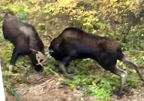 два лося подрались за территорию