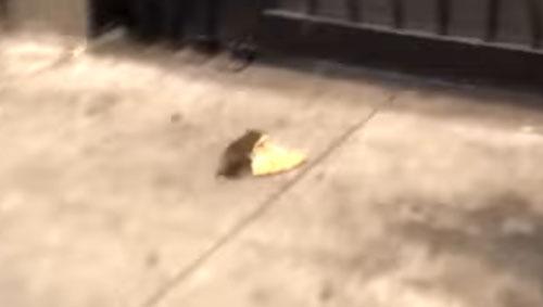 крысы не поделили пиццу