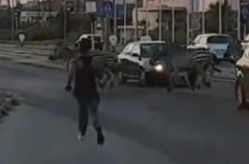 зебры сбежали из цирка