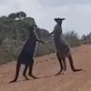 два кенгуру подрались на дороге