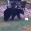 медведи сыграли в футбол
