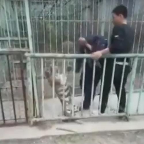 тигрёнок в поисках своей мамы
