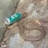 кобра польстилась на газировку