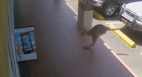 кенгуру врезался в витрину