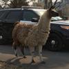 полицейские поймали сбежавшую ламу