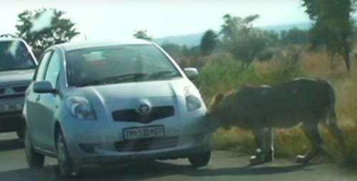 лев прокусил автомобильную шину