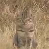 кошку показали вместо кугуара