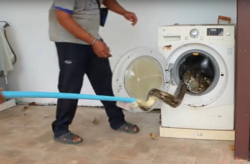 питон в стиральной машине