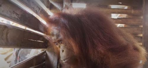 обезьяна две недели жила в ящике