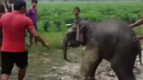 спасение тонущего слонёнка