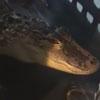 аллигатор не помещался в ванну