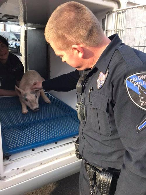 полицейские ищут владельца поросят
